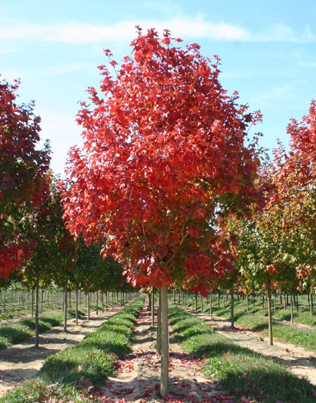 Acer Saccharum Fall Fiesta Moon Nurseries