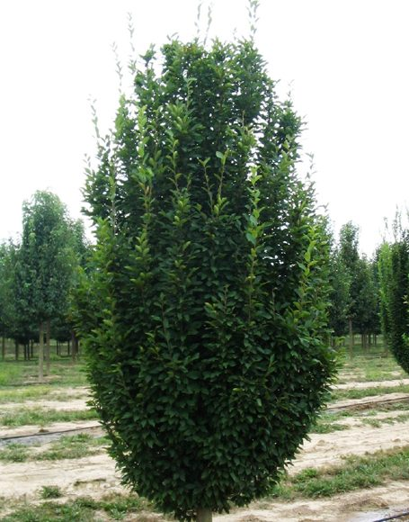 carpinus betulus fastigiata moon nurseries. Black Bedroom Furniture Sets. Home Design Ideas