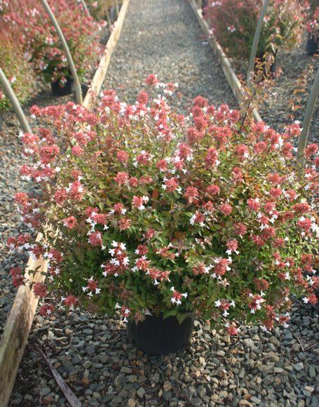 Abelia X Grandiflora Little Richard Moon Nurseries