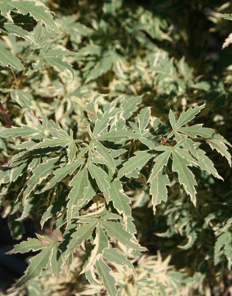 Acer Palmatum Roseo Marginatum Moon Nurseries