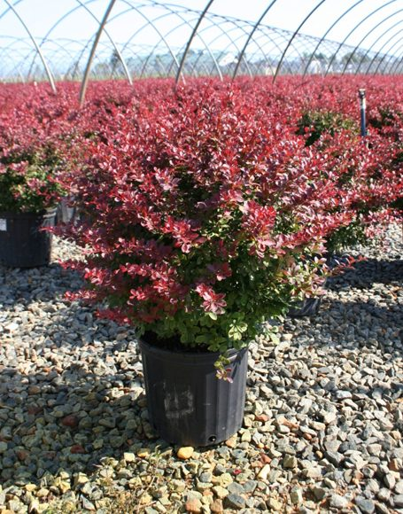 Berberis Thunbergii Atropurpurea Crimson Pygmy Berberis thunbe...