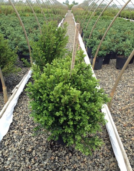 Buxus Microphylla Green Beauty
