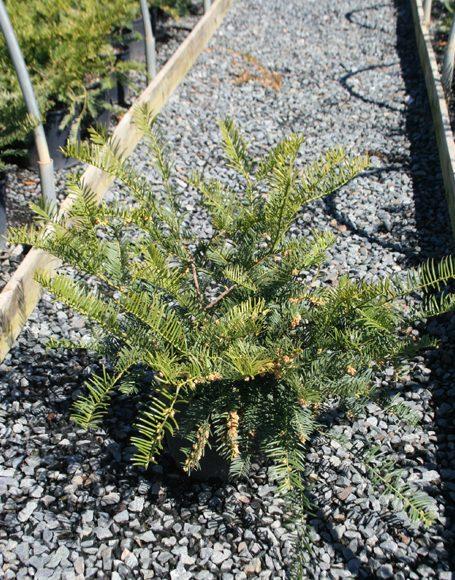 Cephalotaxus harringtonia duke gardens moon nurseries for Duke gardens plum yew