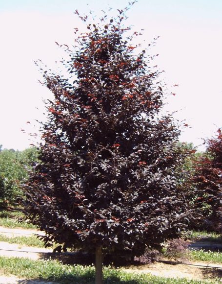 fagus sylvatica �riversii� moon nurseries