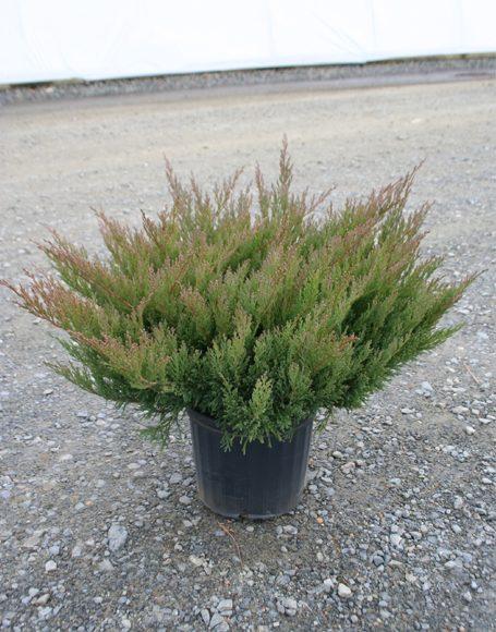 Juniperus Horizontalis Plumosa Compacta Youngstown